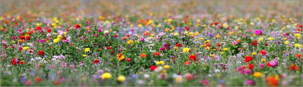 champ_fleurs_pano_b